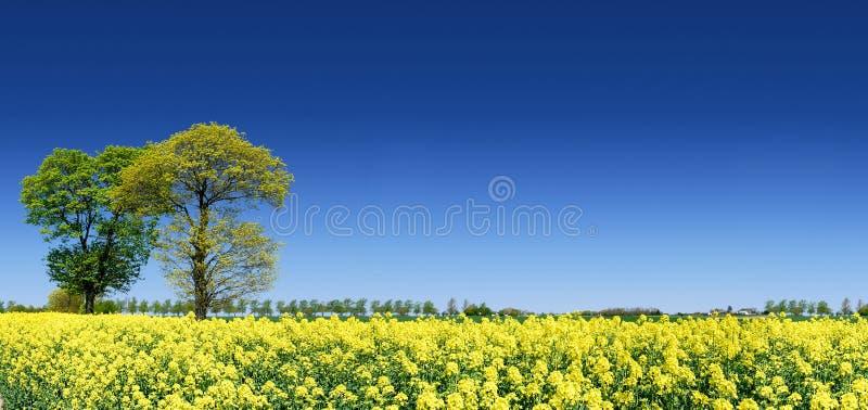 Idyllische Landschaft, einsame Bäume unter Rapsfeldern stockfotografie