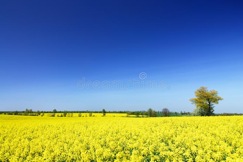 Idyllische Landschaft, einsamer Baum unter gelben Rapsfeldern stockbild