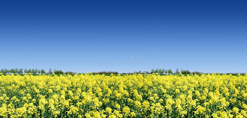 Idyllische Landschaft, gelbe Rapsfelder lizenzfreies stockbild