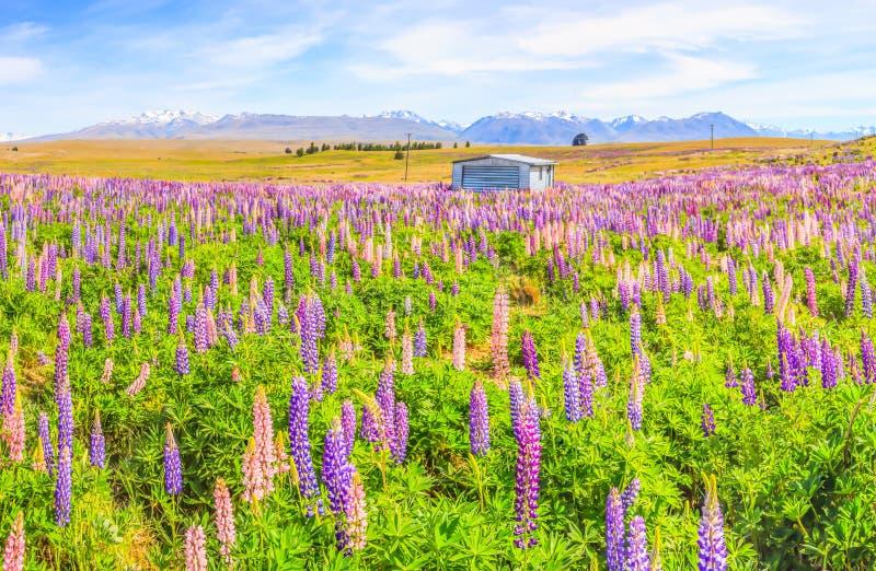 Idyllische Panorama-Landschaftsansicht des Lupinen-Feldes nahe See Tekapo, Neuseeland Schöne, bunte Lupine blüht Blüte im Sommer lizenzfreie stockbilder