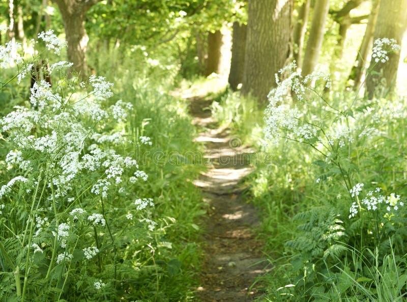 Idyllischer Waldweg mit weißen Blumen lizenzfreie stockfotografie