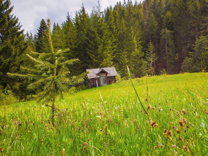 Idyllisk plats för pittoresk vår av Carpathiansna, fält för grönt gräs framme av en trästuga som omges av barrträds- royaltyfria foton
