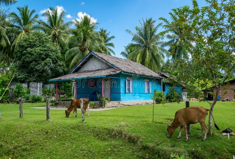 Idyllisk scenisk tropisk bild av den gröna ängen, kor som betar, och det blåa huset i bygd av en ö i Indonesien fotografering för bildbyråer