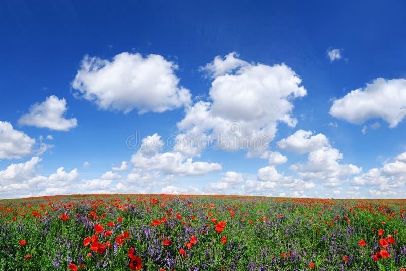 Idyllisk sikt, äng med blå himmel för röda vallmo i bakgrunden fotografering för bildbyråer