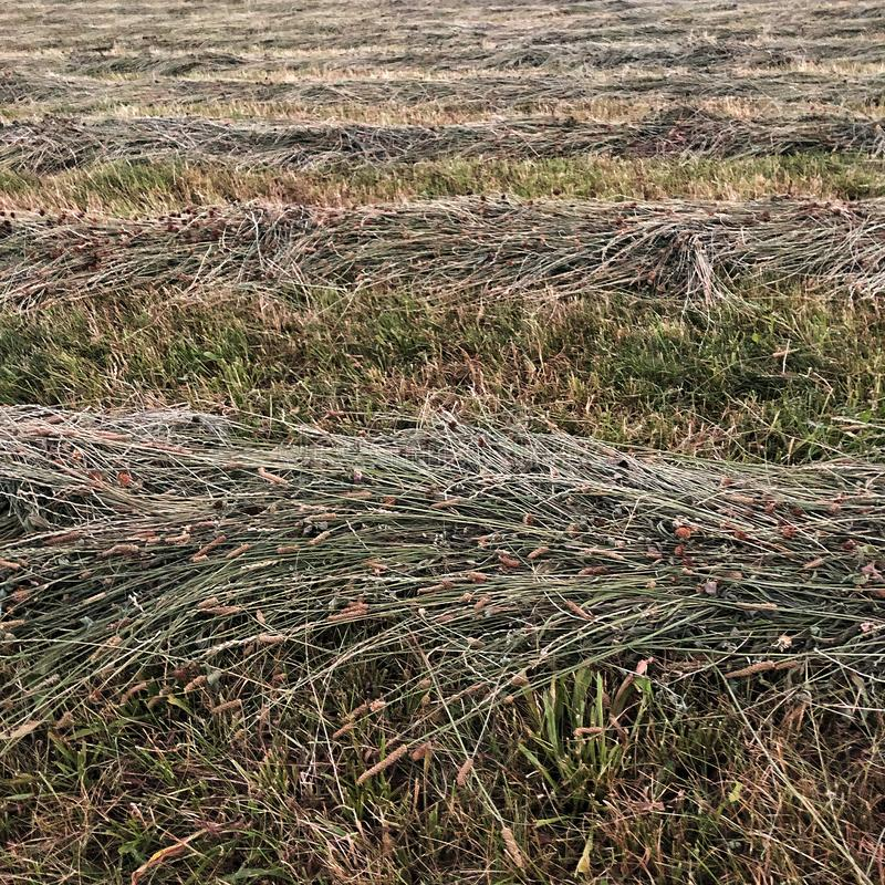 ield of dry mowed grass that lies mowing stock photo