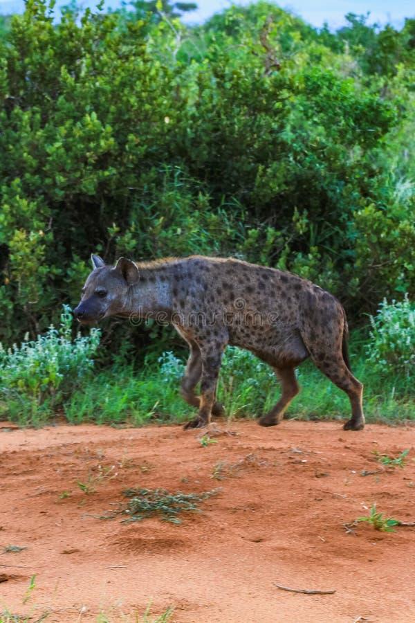 Iena africana sui masai Mara Kenia fotografie stock