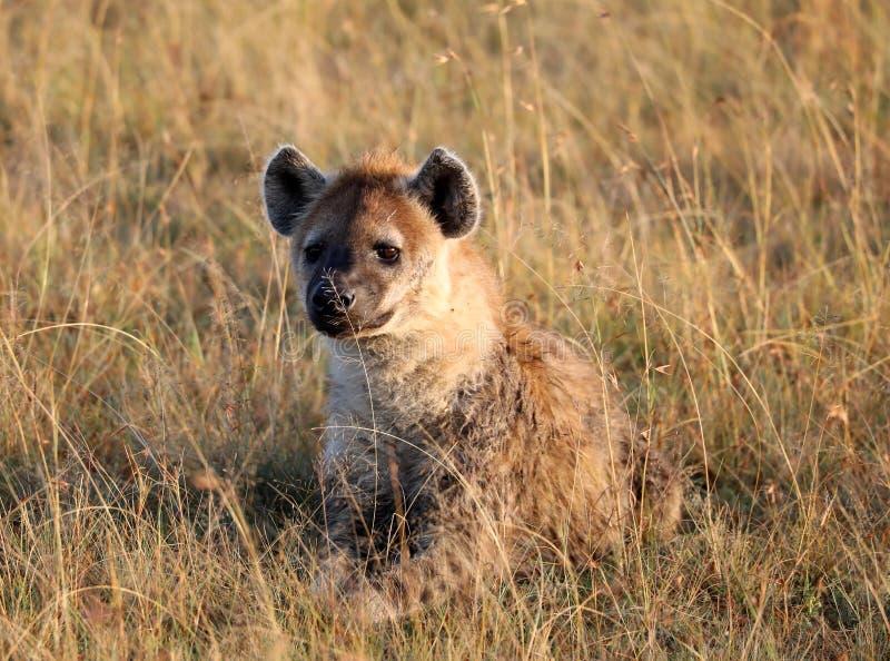 Iena di risata Spotted nel parco del gioco di Mara dei masai immagine stock libera da diritti