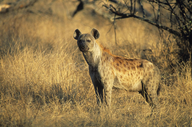 Iena macchiata (Crocuta Cocuta) che sta sulla savana fotografia stock libera da diritti