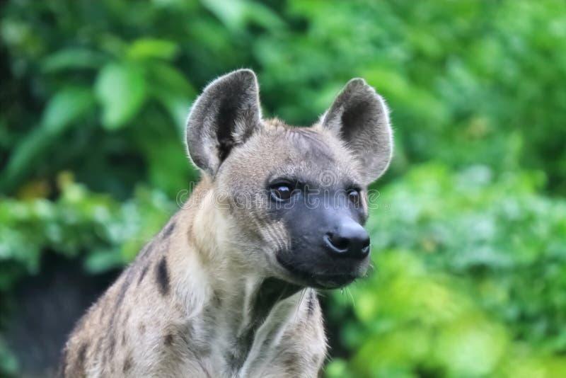 Iene macchiate - l'iena macchiata può uccidere l'altrettanto come 95% degli animali che mangiano fotografie stock libere da diritti