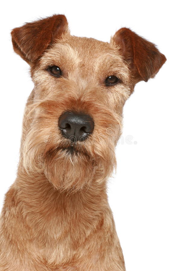 Ierse terriër. Het portret van de hond stock afbeeldingen