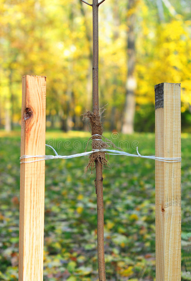 If your tree is still a sapling, use a stake to help it grow for about the first year of its life. royalty free stock images