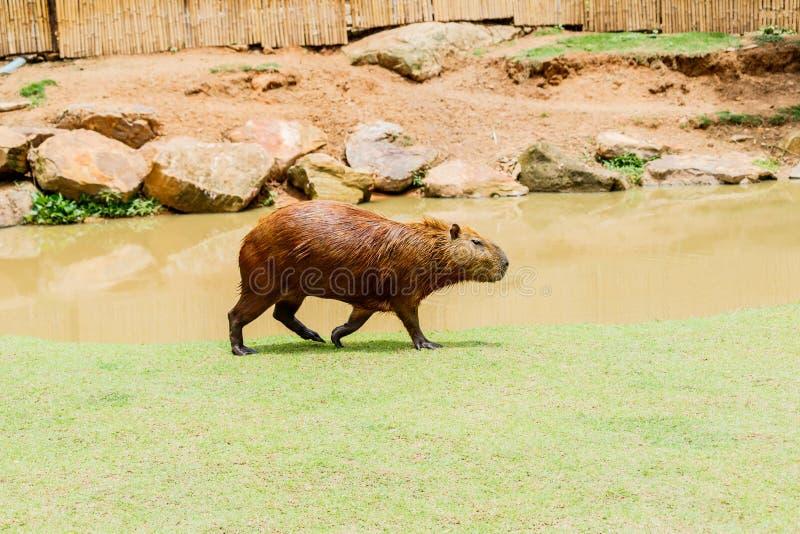 Ig Capybara hydrochoerus hydrochaeris in the zoo. stock images