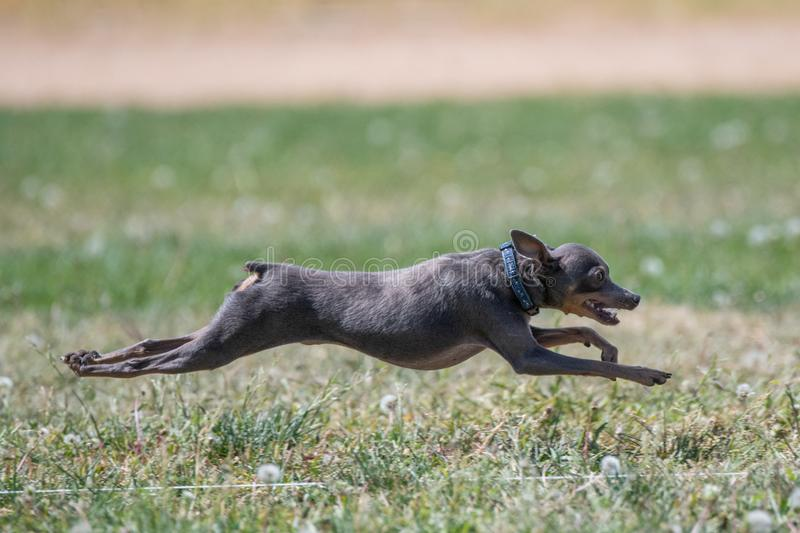 Italian Greyhound in mid-air over the grass royalty free stock image