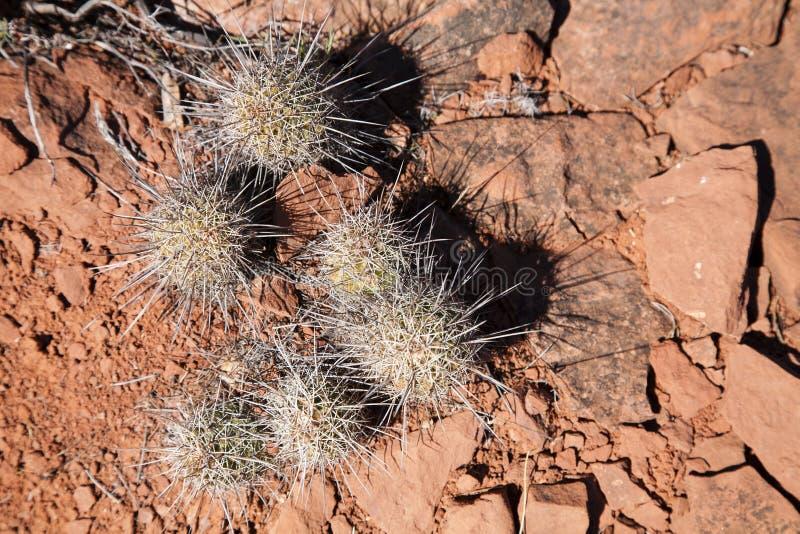 Igeler Kaktus, der im roten Boden und im Felsen wächst lizenzfreie stockfotos