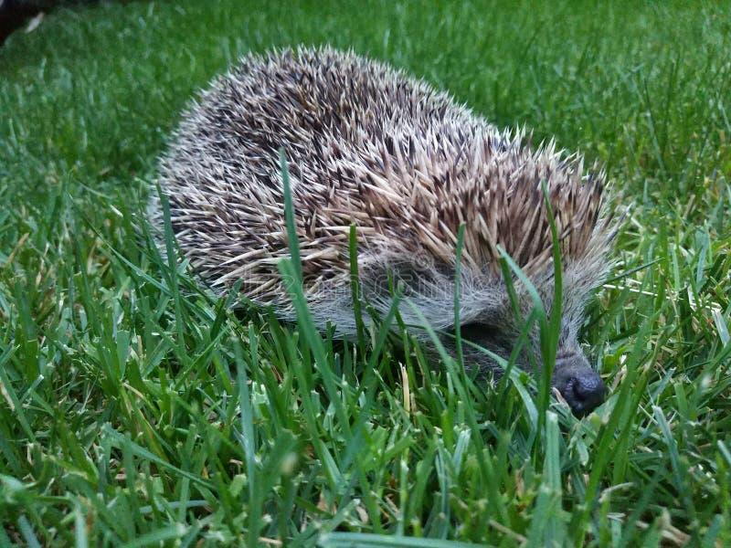 Igeles auf dem Rasen im Garten lizenzfreie stockfotos