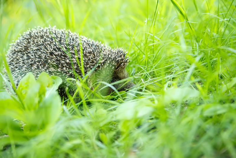 Igeles in einem Gras lizenzfreie stockfotografie