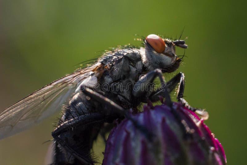 Igelkottfluga på blomman arkivfoton