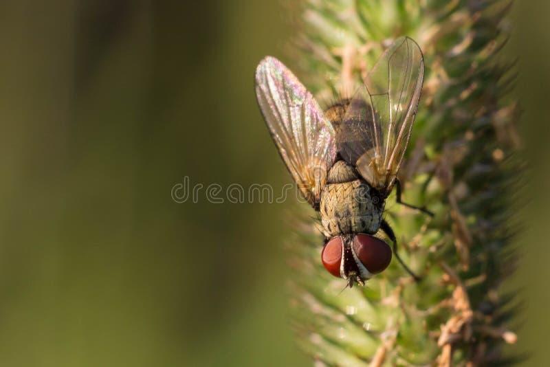 Igelkottfluga på gräset arkivbild