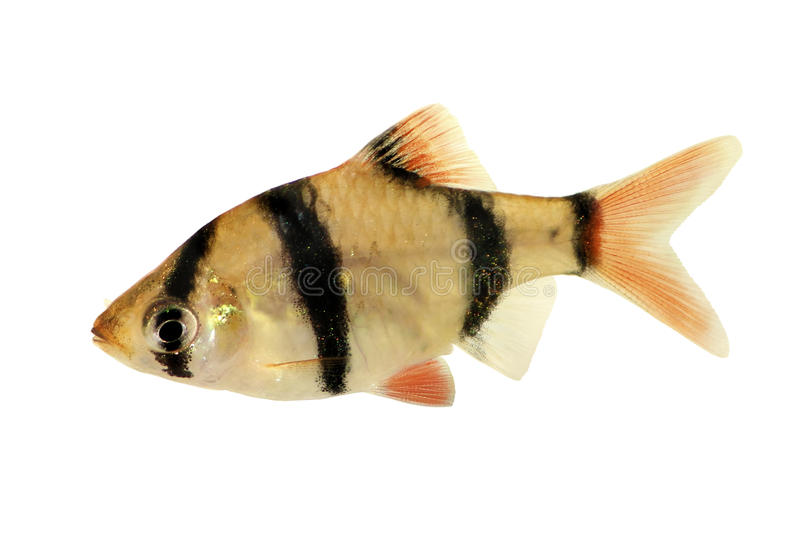 Iger倒钩或被隔绝的苏门答腊倒钩Puntius tetrazona热带水族馆鱼 库存照片