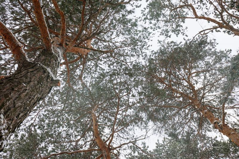 Iglaści drzewa zakrywający z świeżym śniegiem na zimnym zima dniu zdjęcie royalty free