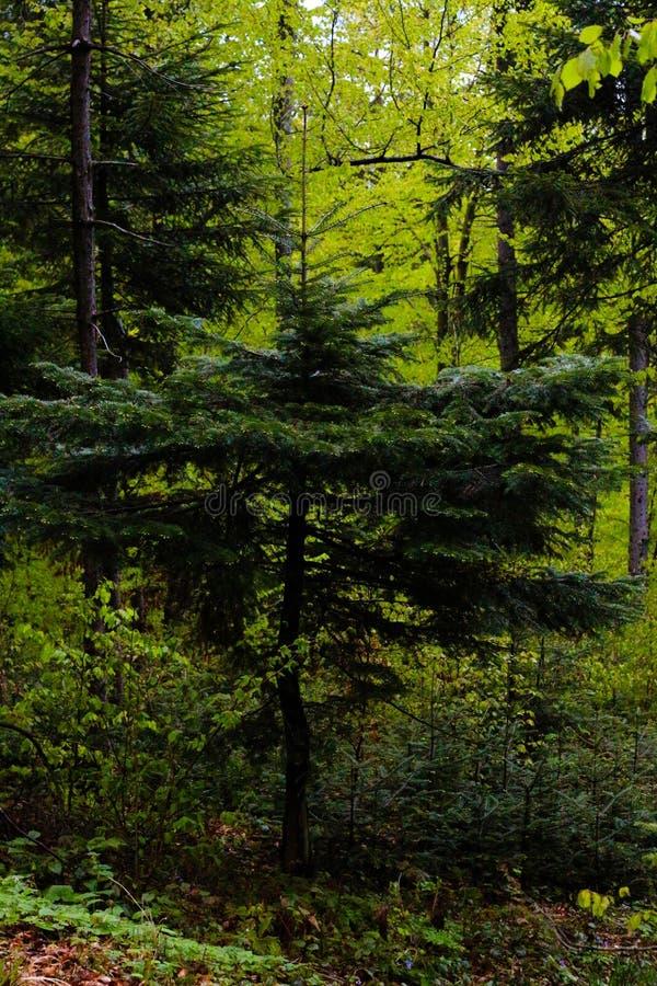 Iglaści drzewa w lesie fotografia stock