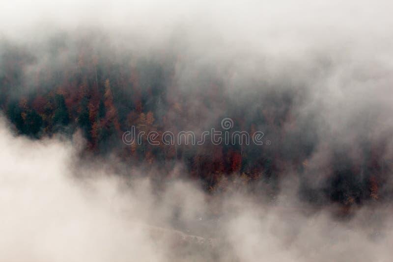 Iglaści wiosen drzewa mogą być widzieć puszkiem przez gęstej mgły zdjęcie stock