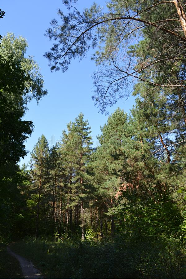Iglasta lasowa ścieżka w lesie z wysokimi sosnami LATO krajobraz obrazy royalty free