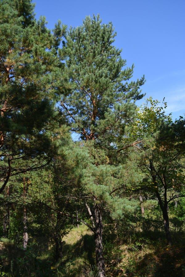 Iglaste lasowe Wysokie sosny Las w słonecznym dniu fotografia royalty free