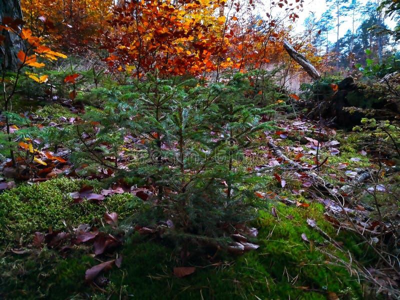 Iglasty drzewo w jesień lesie w wczesnym poranku zdjęcia royalty free