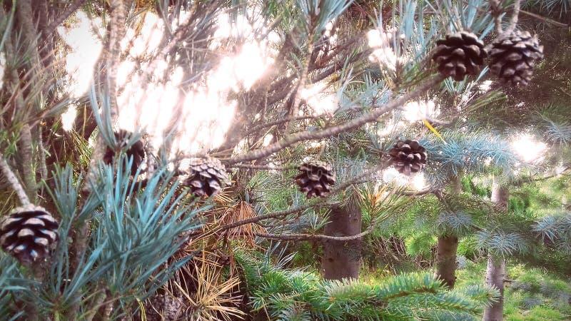 Iglasty drzewo z rożkami Lasowy spacer obrazy stock