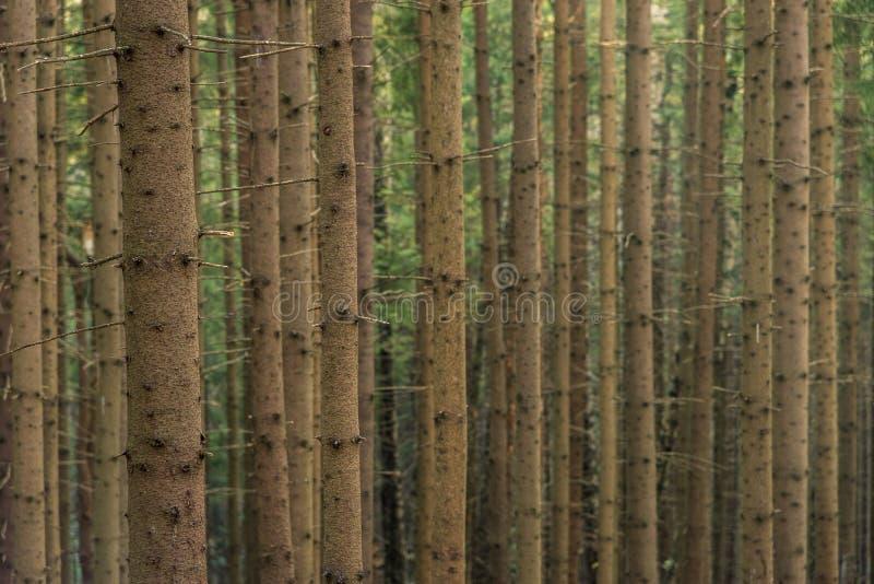Iglasty las drzewa z pełnym ramowym śladem fotografia royalty free