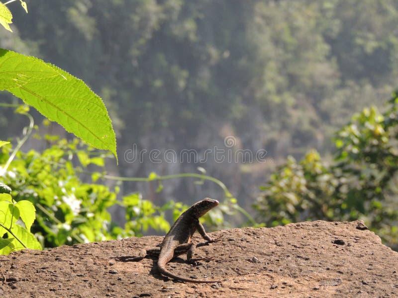 Iguaçu понижается ящерица стоковое изображение rf