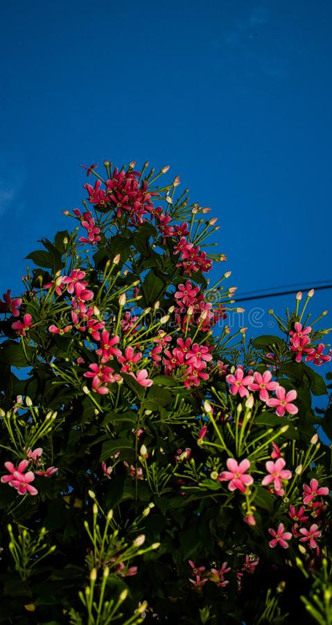 Igualación de la vista de flores rosadas con el fondo del cielo en Jammu, la India imágenes de archivo libres de regalías