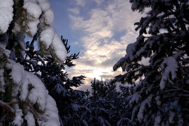Igualando el cielo antes de puesta del sol rodeado por los abetos nevados del bosque foto de archivo libre de regalías