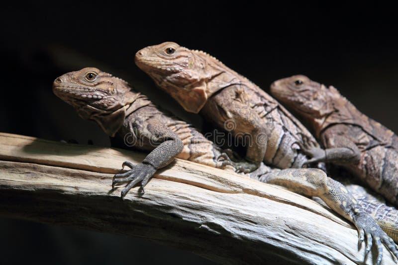 Iguana à terra cubana imagem de stock royalty free