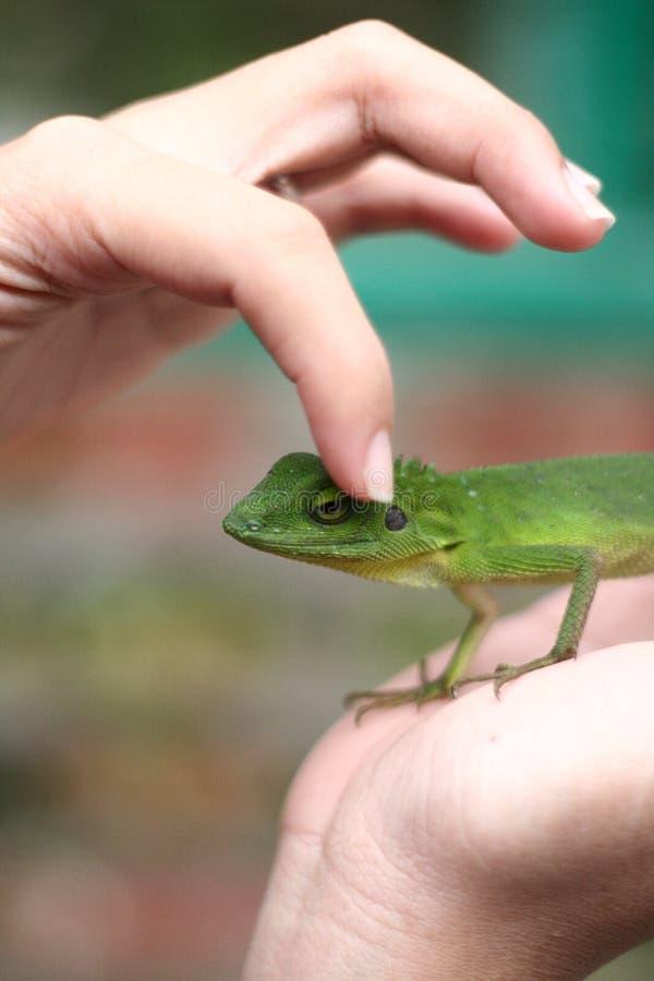iguana λίγα στοκ φωτογραφία