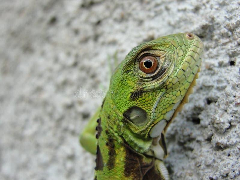 iguana μωρών στοκ εικόνες
