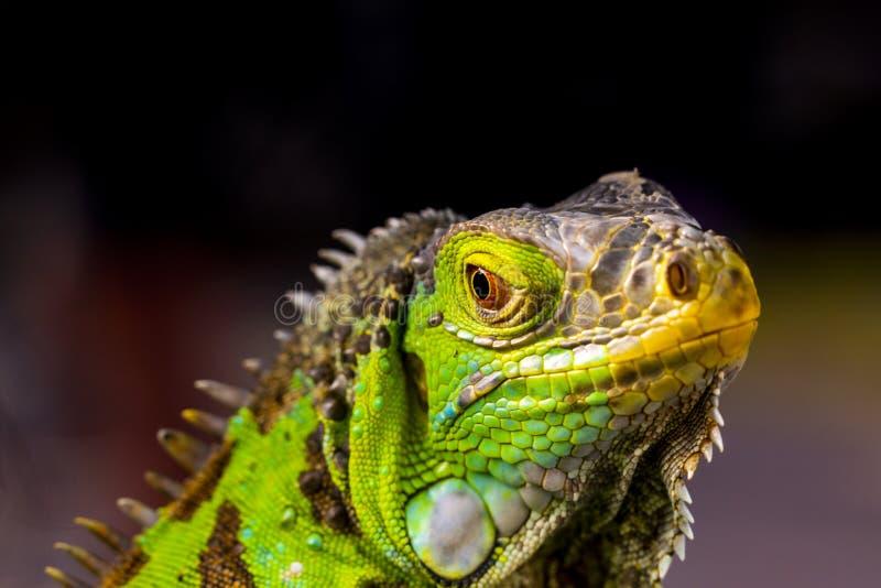 Iguana οι μεγάλες σαύρες στοκ εικόνα