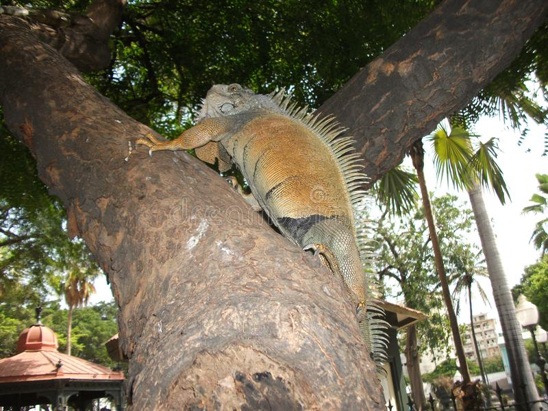 Iguana που αναρριχείται στο δέντρο στο Guayaquil, Ισημερινός στοκ φωτογραφίες με δικαίωμα ελεύθερης χρήσης