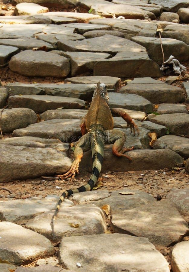 Iguana που πηγαίνει για έναν περίπατο στοκ εικόνα