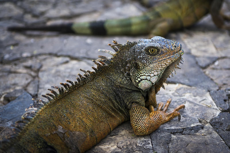 Iguana σε ένα πάρκο στο Guayaquil στον Ισημερινό στοκ εικόνα