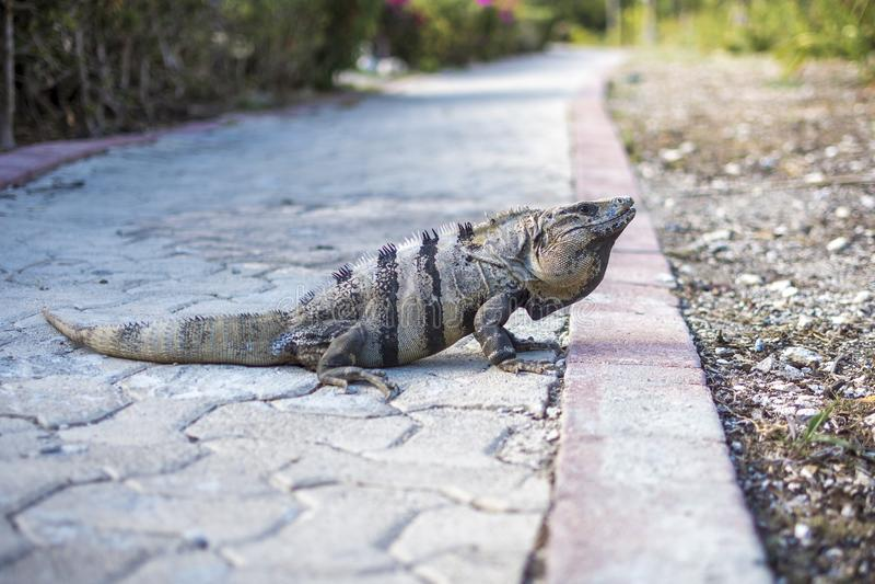 Iguana σε μια πορεία στο Μεξικό στοκ εικόνες