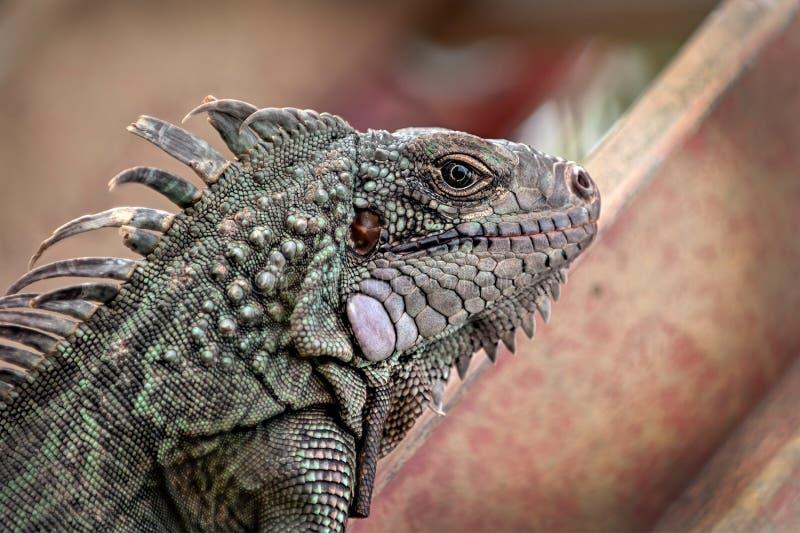 Iguana στην εργασία που αναρριχείται επάνω στη σκάλα στους Παρθένους Νήσους του ST Croix ΗΠΑ κήπων στοκ εικόνες