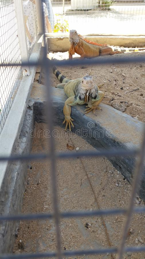 Iguana στη δράση στοκ φωτογραφίες με δικαίωμα ελεύθερης χρήσης