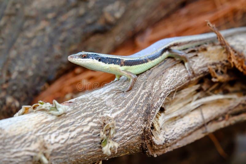 Iguana στον κήπο annimal είναι η άγρια φύση και το μικρό ζώο για το υπόβαθρο στοκ εικόνα με δικαίωμα ελεύθερης χρήσης