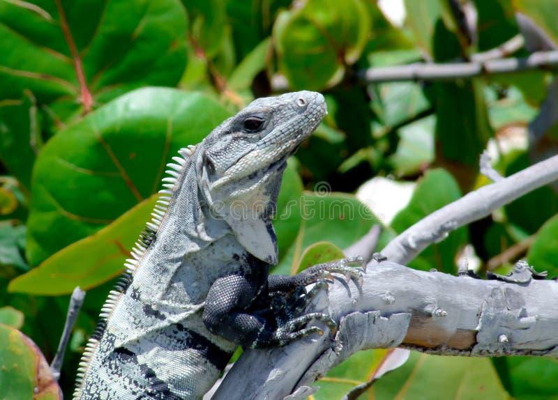 Iguana στον κλάδο στοκ εικόνα με δικαίωμα ελεύθερης χρήσης