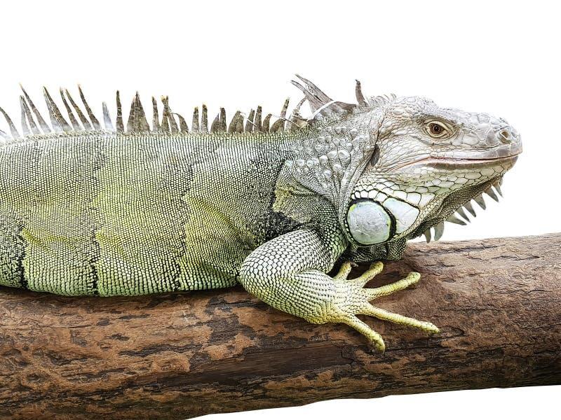 Iguana στο ξύλινο κούτσουρο που απομονώνεται στο άσπρο υπόβαθρο στοκ φωτογραφίες