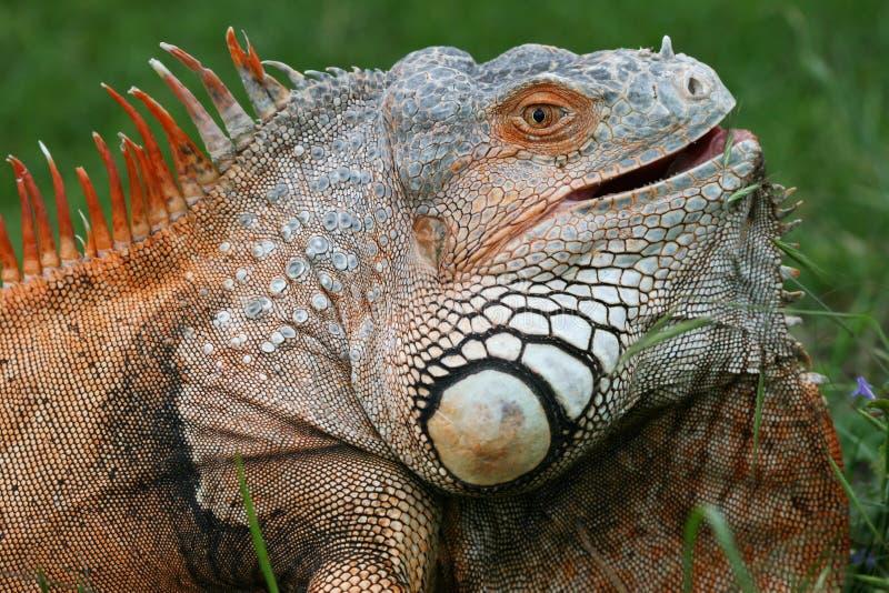 Download Iguana imagem de stock. Imagem de couro, animal, curioso - 10067749