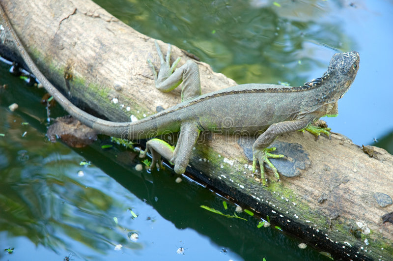 Download Iguana stock image. Image of exotic, river, reptile, still - 1011975
