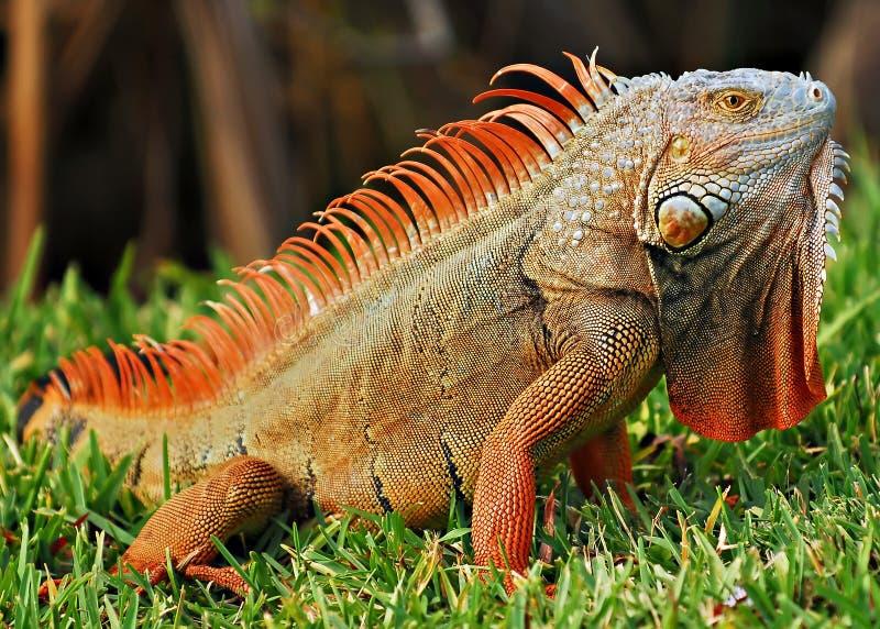 Iguana fotografia stock libera da diritti
